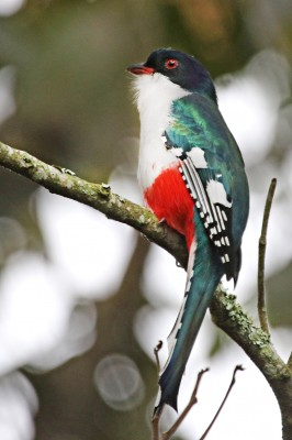 Cuban Trogon, Cuba, Cuba Birding Tour, Cuba Nature Tour, Naturalist Journeys