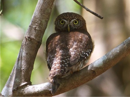 Cuban Pygmy Owl, Cuba, Cuba Birding Tour, Cuba Nature Tour, Naturalist Journeys