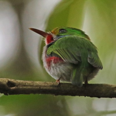 Cuban Tody, Cuba, Cuba Birding Tour, Cuba Nature Tour, Naturalist Journeys