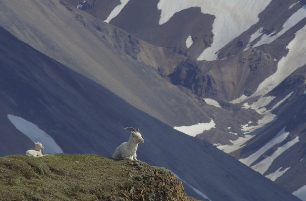 Dall Sheep, Alaska, Alaska Nature Tour, Alaska Birding Tour, Alaska Wildlife Tour, Naturalist Journeys