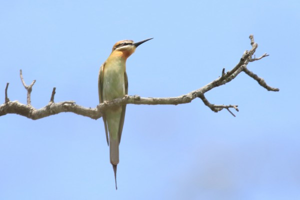 Madagascar Bee-eater, Uganda, Uganda Safari, Uganda Wildlife Tour, Uganda Nature Tour, Naturalist Journeys