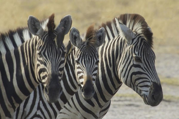 Zebras, Uganda, Uganda Wildlife Tour, Uganda Safari, Naturalist Journeys