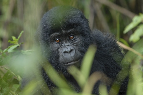 Mountain Gorilla, Uganda, Uganda Birding Tour, Uganda Wildlife Safari, Uganda Safari, Naturalist Journeys