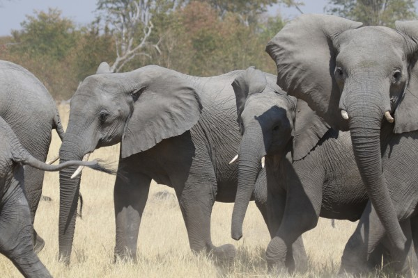 Elephants, Uganda, Uganda Safari, Uganda Wildlife Tour, Uganda Nature Tour, Naturalist Journeys