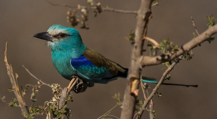 European Roller, Uganda, Uganda Safari, Uganda Wildlife Tour, Uganda Nature Tour, Naturalist Journeys