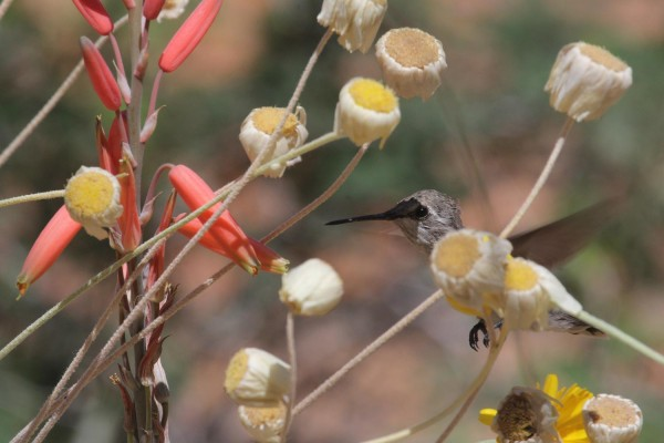 Black-chinned Hummingbird, Southeast Arizona, Arizona, Arizona Nature Tour, Arizona Birding Tour, Naturalist Journeys