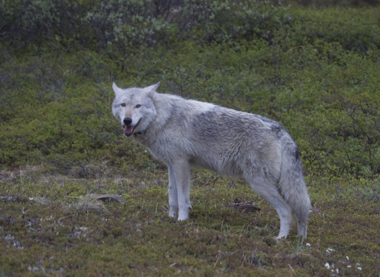 Gray Wolf, Isle Royale, Northwoods Nature Tour, Michigan Nature Tour, Naturalist Journeys