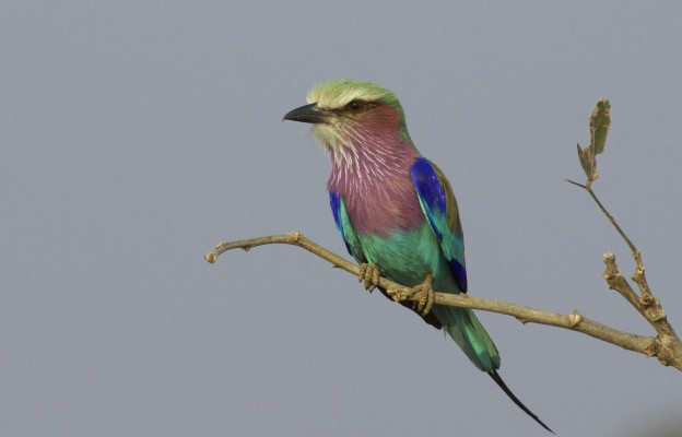 Lilac-breasted Roller, Okavango Delta, Botswana, African Safari, Botswana Safari, Naturalist Journeys
