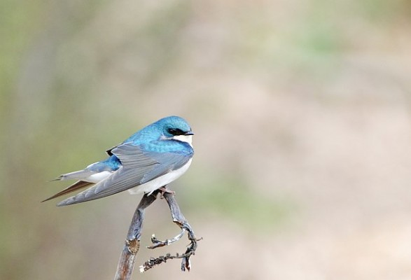 Tree Swallow, Cape May, Fall Migration Tour, Birding Migration Tour, Naturalist Journeys