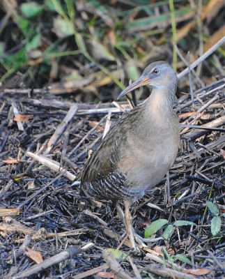 Clapper Rail, Cape May, Fall Migration Tour, Birding Migration Tour, Naturalist Journeys