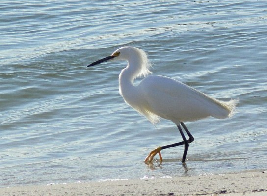 Egret, South Carolina, Folly Beach, South Caroline Birding Tour, South Carolina Nature Tour, Naturalist Journeys