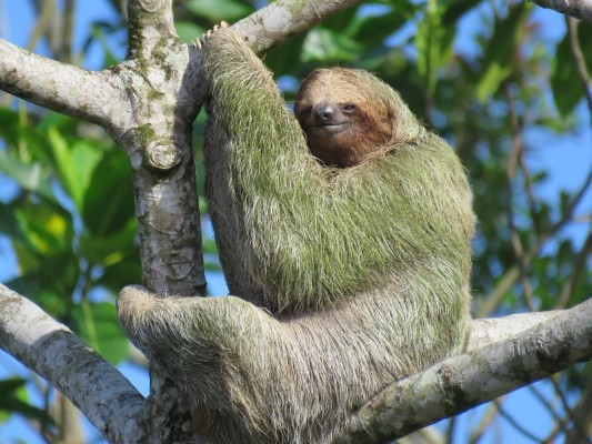 Three-toed Sloth, Costa Rica, Costa Rica Nature Tour, Costa Rica Birding Tour, Fall Migration Tour, Naturalist Journeys, Costa Rica Birding Tour, Costa Rica Nature Tour