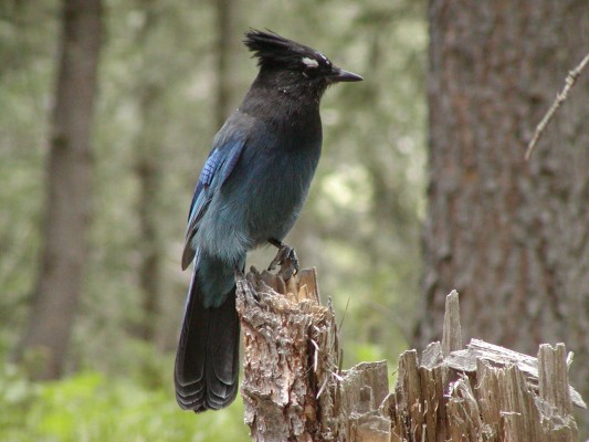 Steller's Jay, Yellowstone National Park, Yellowstone Nature Tour, Yellowstone Birding Tour, Naturalist Journeys