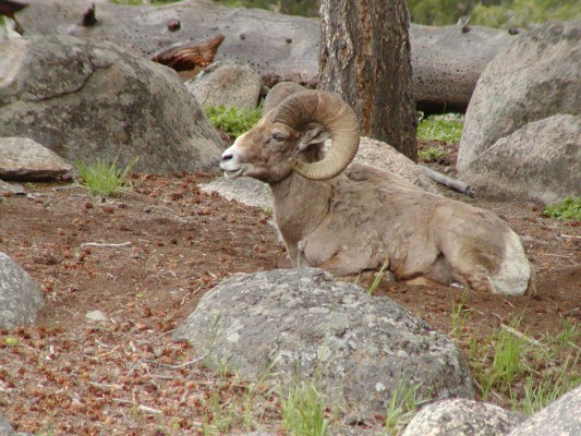 Bighorn Sheep, Yellowstone National Park, Yellowstone Nature Tour, Yellowstone Birding Tour, Naturalist Journeys