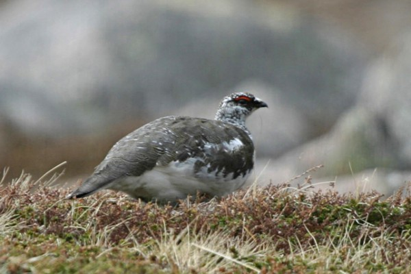Rock Ptarmigan, Scotland Nature Tour, Scotland Birding Tour, Naturalist Journeys