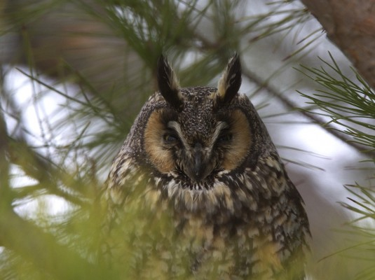 Long-eared Owl, Arizona, Arizona Nature Tour, Arizona Birding Tour, Naturalist Journeys