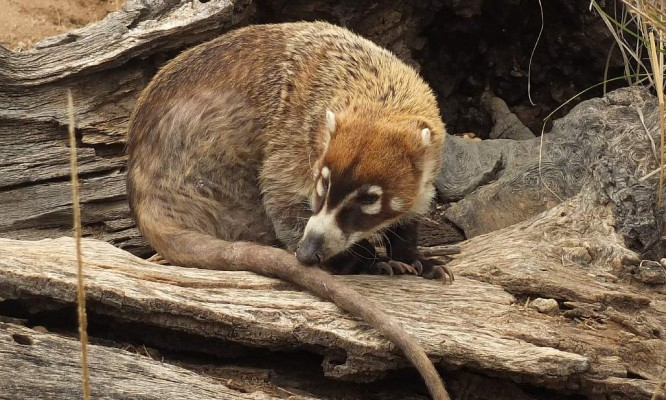 Coati, Arizona, Southeast Arizona, Southeast Arizona Nature Tour, Southeast Arizona Birding Tour, Naturalist Journeys