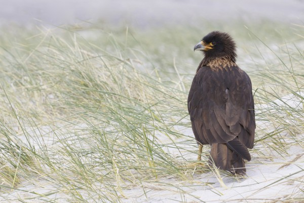 Striated Caracara, Johnny Rook, Antarctica, South Georgia Island, Falkland Islands, Antarctic Nature Cruise, Antarctic Cruise, Naturalist Journeys
