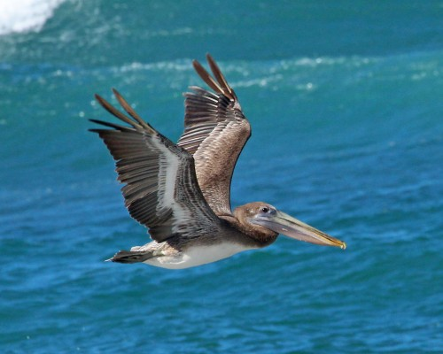 Brown Pelican, Mexico, Sea of Cortez, Nature Cruise, Sea of Cortez cruise, Naturalist Journeys