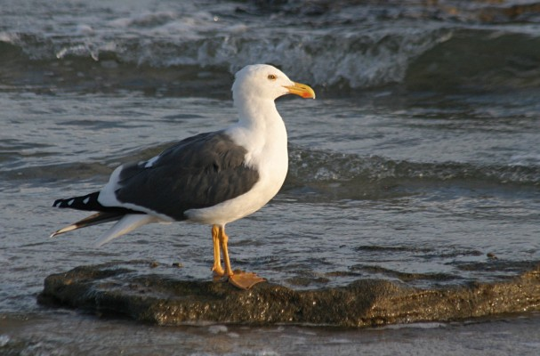 Yellow-legged Gull, Mexico, Sea of Cortez, Nature Cruise, Sea of Cortez cruise, Naturalist Journeys