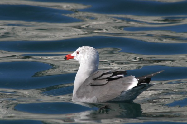 Gull, Mexico, Sea of Cortez, Nature Cruise, Sea of Cortez cruise, Naturalist Journeys