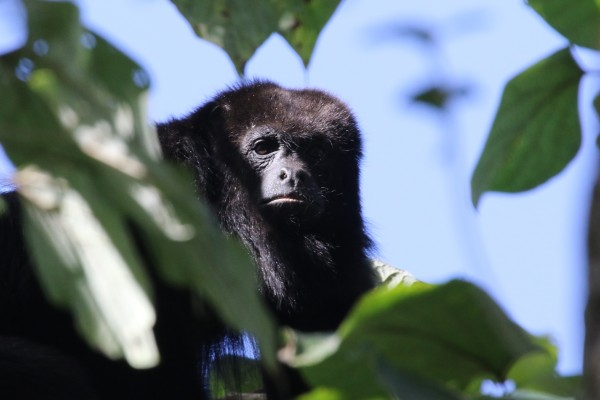Black Howler Monkey, Belize, Belize Nature Tour, Belize Birding Tour, Naturalist Journeys