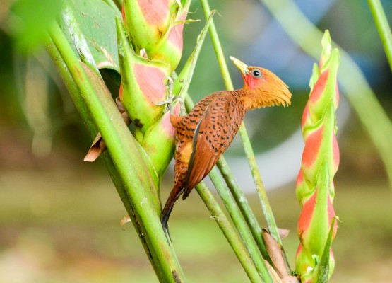 Chestnut-colored Woodpecker, Belize, Belize Nature Tour, Belize Birding Tour, Naturalist Journeys