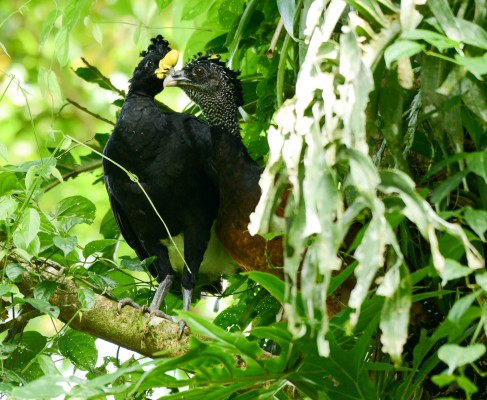 Great Curassow, Belize, Belize Nature Tour, Belize Birding Tour, Naturalist Journeys