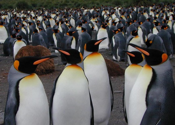 King Penguins Colony, Antarctica, South Georgia Island, Falkland Islands, Antarctic Nature Cruise, Antarctic Cruise, Naturalist Journeys