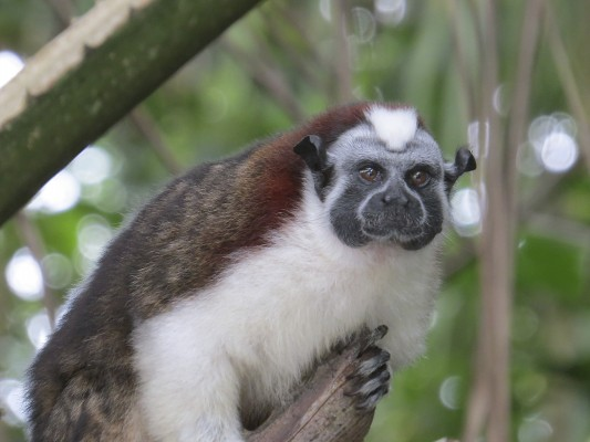 Geoffroy's Tamarin, Panama, Naturalist Journeys, Panama Wildlife Tour