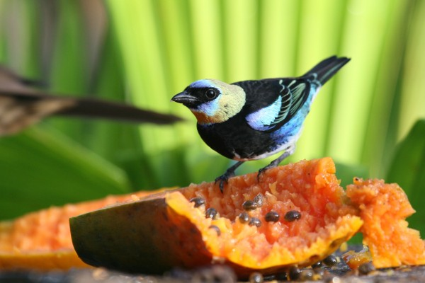 Golden-hooded Tanager, Panama, Panama Nature Tour, Panama Birding Tour, Naturalist Journeys