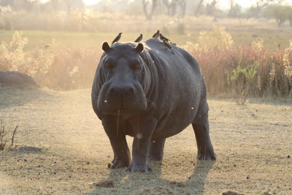 Hippo, Uganda, Uganda Birding Tour, Uganda Wildlife Safari, Uganda Safari, Naturalist Journeys