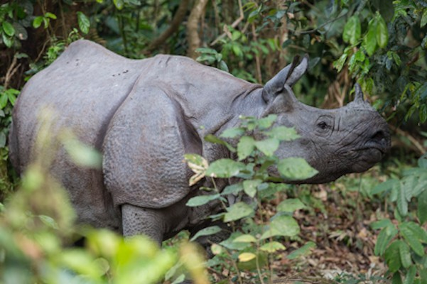 One-horned Rhino, India Nature Tour, India Wildlife Tour, India Wildlife Safari, Naturalist Journeys