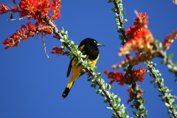 Scott's Oriole, Texas, Texas Hill Country, Texas Nature Tour, Texas Birding Tour, Naturalist Journeys