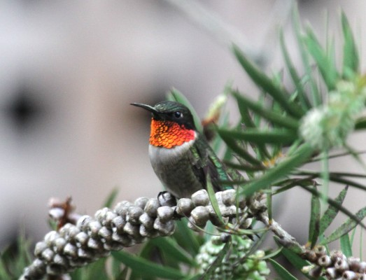 Ruby-throated Hummingbird, Texas, Texas Hill Country, Texas Nature Tour, Texas Birding Tour, Naturalist Journeys