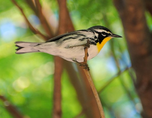 Yellow-throated Warbler, Texas, Texas Coast, Big Thicket, Texas Birding Tour, Spring Migration Tour, Texas Migration Tour, Texas Nature Tour, Naturalist Journeys