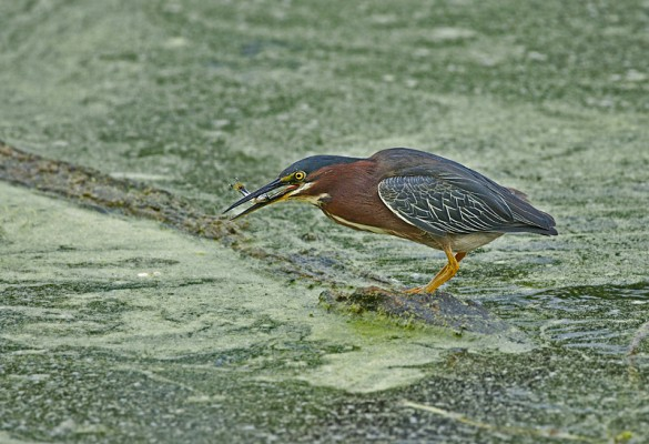 Green Heron, Texas, Texas Coast, Big Thicket, Texas Birding Tour, Spring Migration Tour, Texas Migration Tour, Texas Nature Tour, Naturalist Journeys