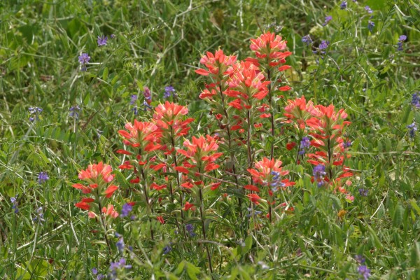 Indian Paintbrush, Texas, Texas Coast, Big Thicket, Texas Birding Tour, Spring Migration Tour, Texas Migration Tour, Texas Nature Tour, Naturalist Journeys