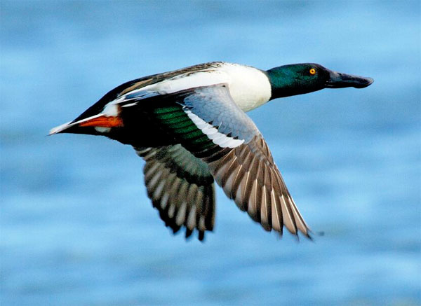 Northern Shoveler, Ohio, Spring Migration, Maumee Bay, Oak Openings, Spring Migration Tour, Migration Tour, Naturalist Journeys