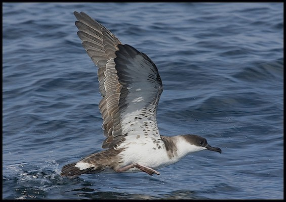 Great Shearwater, Canada, Canadian Cruise, Canadian Nature Cruise, Naturalist Journeys