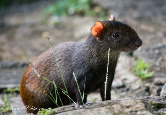 Agouti, Trinidad Nature Tour, Trinidad Birding Tour, Trinidad Wildlife Tour, Naturalist Journeys