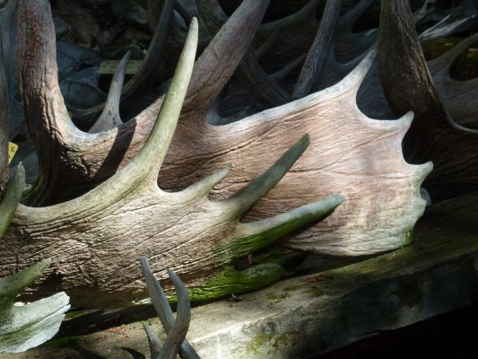 Moose Antlers, Isle Royale, Northwoods Nature Tour, Michigan Nature Tour, Naturalist Journeys