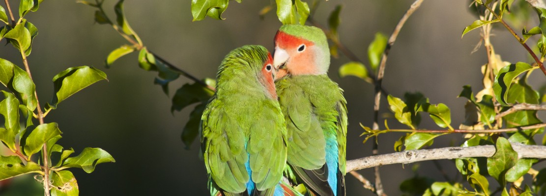 Rosy-faced Lovebirds, Namibia, Namibia Birding Tour, Namibia Nature Tour, Namibia Wildlife Safari, Naturalist Journeys