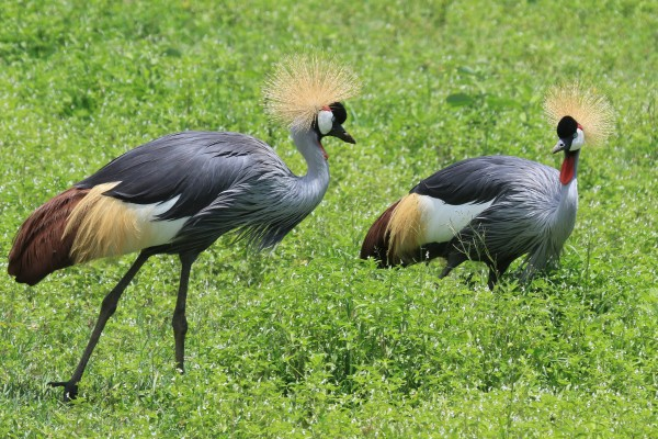 Crowned Crane, Kenya, Kenya Safari, Kenya Wildlife Safari, African Safari, Kenya Birding Tour, Naturalist Journeys