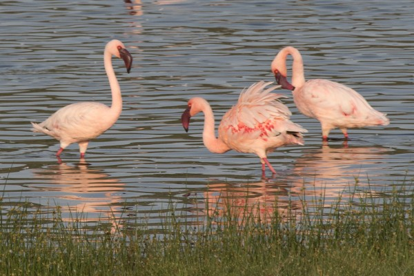Lesser Flamingo, Kenya, Kenya Safari, Kenya Wildlife Safari, African Safari, Kenya Birding Tour, Naturalist Journeys