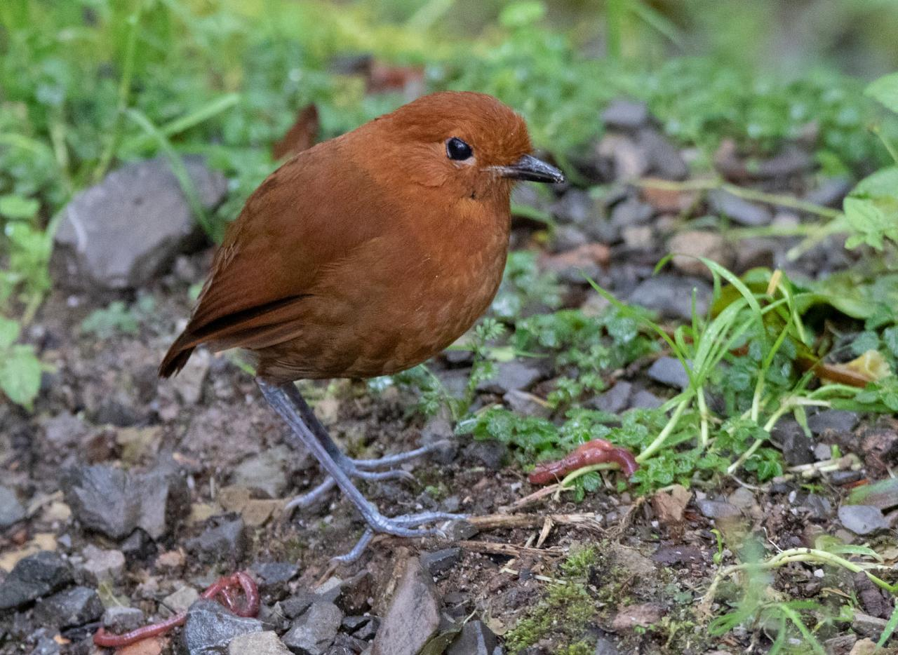 Chestnut Antpitta, Peru, Northern Peru, Peru Birding Tour, Peru Nature Tour, Naturalist Journeys