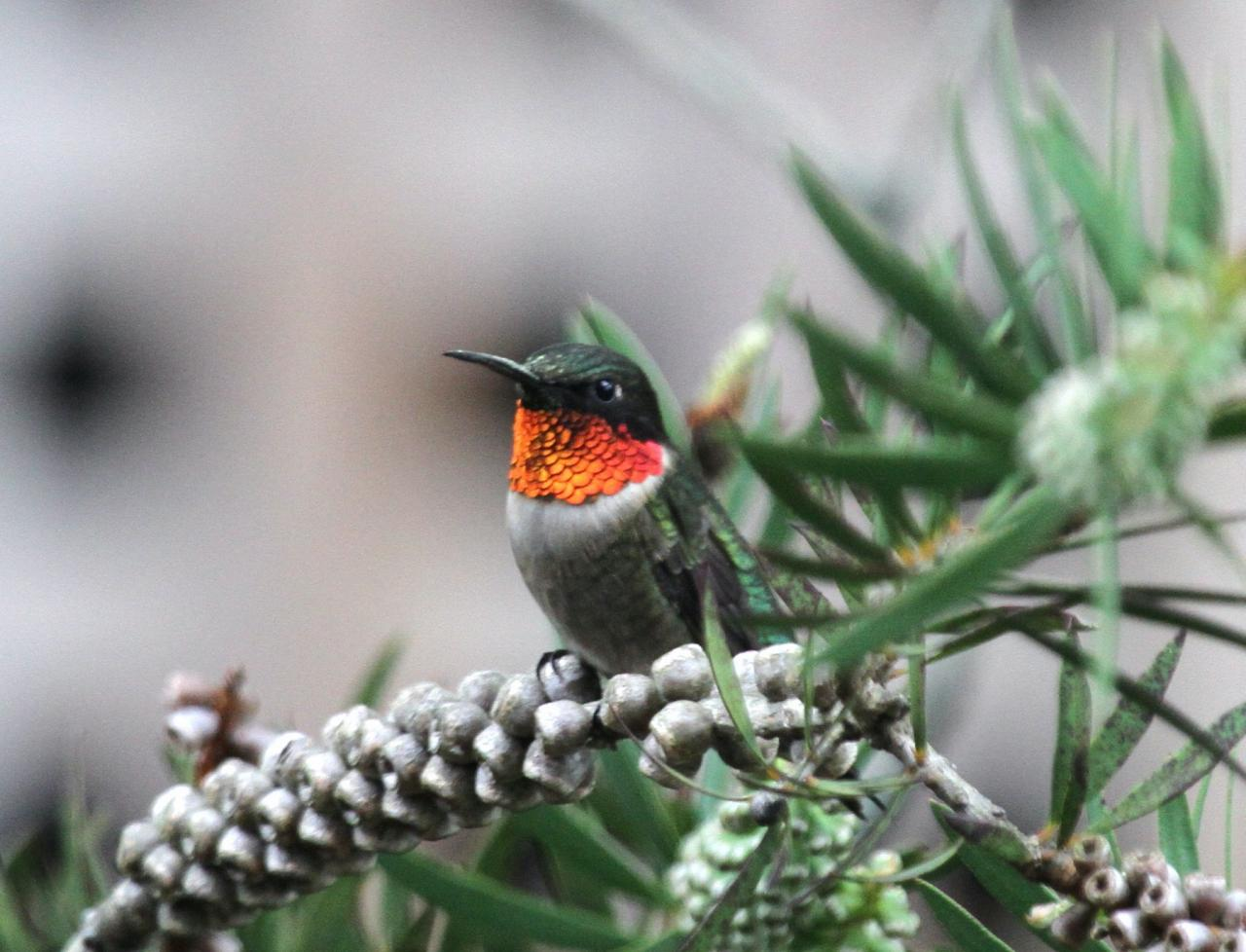Ruby-throated Hummingbird, Isle Royale, Northwoods Nature Tour, Michigan Nature Tour, Naturalist Journeys