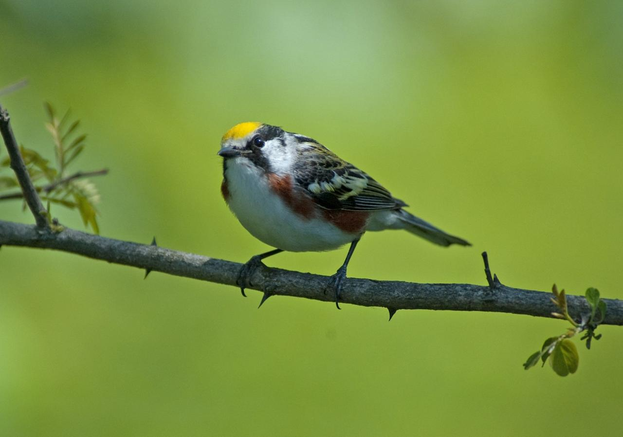 Chestnut-sided Warbler, Isle Royale, Northwoods Nature Tour, Michigan Nature Tour, Naturalist Journeys