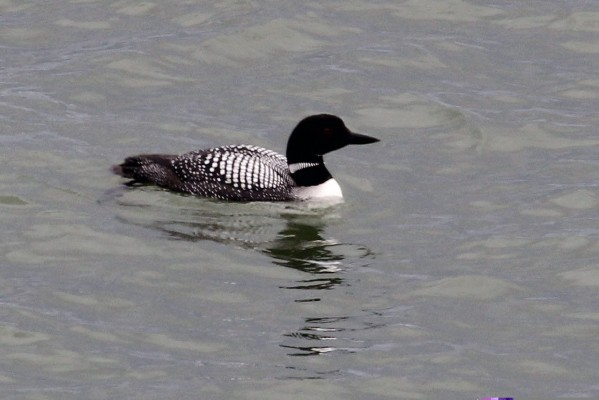 Common Loon, Isle Royale, Northwoods Nature Tour, Michigan Nature Tour, Naturalist Journeys