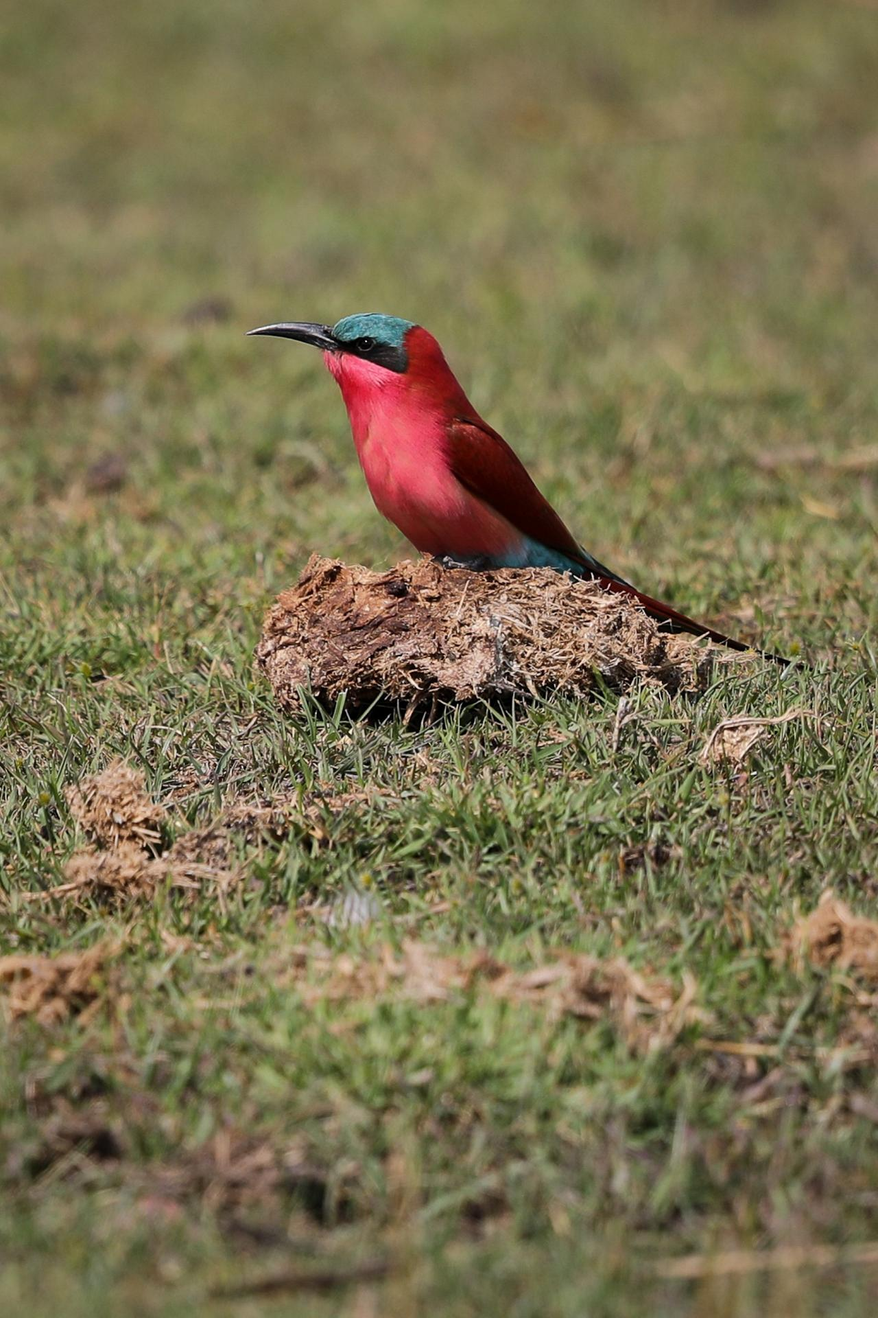 Carmine Bee-eater, Botswana, Africa Safari, Naturalist Journeys, Wildlife Tour, Africa Wildlife